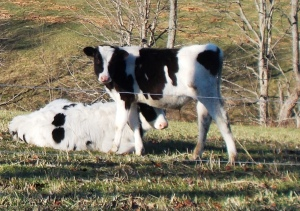 Holstein_calves_bb