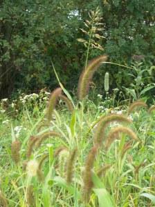 tall_grass_bb