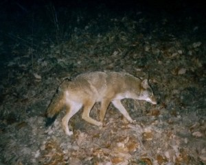 TRAILCAMCOYOTEKYDEC05P01_bb