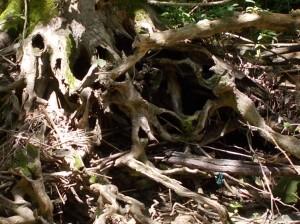 creek tree roots