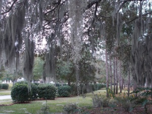 Spanish moss dripping from Live Oak