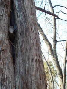 Cedar dimple