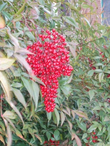 nandina bush berries