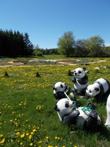 """Pandas"" play in the dandelions and grass"