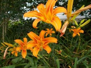 lillies in front garden