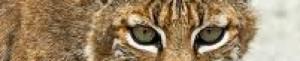 cropped-lynx-rufus3.jpg