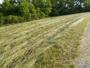 ... raked windrows ...