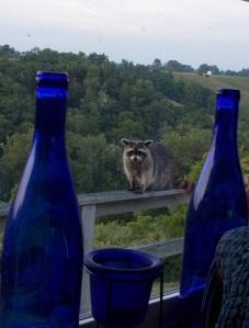 Raccoon (taken from kitchen window)