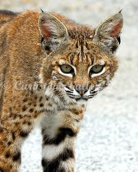 Bobcat / Lynx (courtesy of Curbstone Valley)