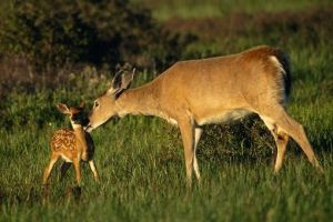 White-tail Deer (courtesy of National Geographic)