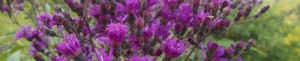 cropped-8-24-14-ironweed-003_b.jpg