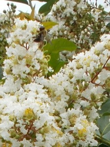 busy bee on crepe myrtle