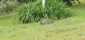 beaver on the loose