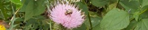 cropped-bee-on-thistle2_crop.jpg