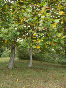 yellow leaves on dancing trees