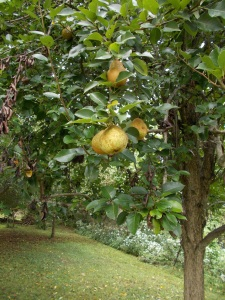 keiffer pears clinging to tree