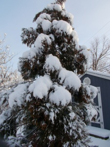 Japanese white cedar