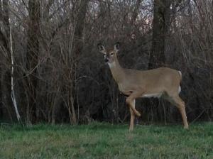 Joan's deer 3.16.15