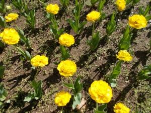 ripple tulips