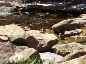 birds bathe in pond