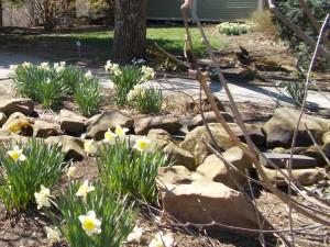 daffodils hug the pond