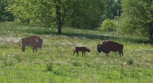 ... where the buffalo roam