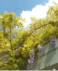 lavender wysteria