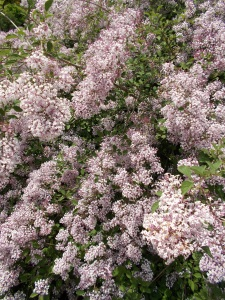 lilacs (love the aroma)