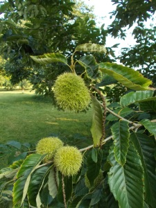 This part of the arboretum harbors tree nuts. This is a Chinese Chestnut