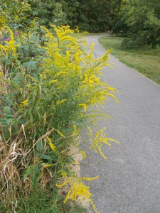 And here's a fall bloomer - golden rod