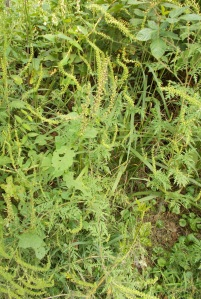 Ragweed is a big allergen in Kentucky. Golden rod usually gets the blame.