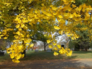...and other Ginko leaves boast of their golden-yellow color