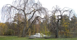 almost-bare weeping cherries surround the pond