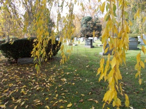 yellow leaves hang on to the Weeping Cherry trees